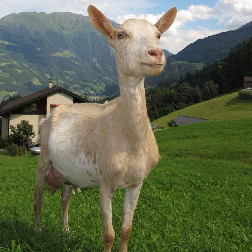 mozzarella-di-capra
